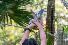 Afrikanischer grauer Papagei des Babys mit rotem Endst?ckfall an zur Niederlassung im Wald stockfoto