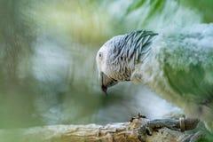 Afrikanischer grauer Papagei des Babys mit rotem Endst?ckfall an zur Niederlassung im Wald stockfotografie
