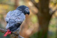 Afrikanischer grauer Papagei des Babys mit rotem Endst?ckfall an zur Niederlassung im Wald stockfotos