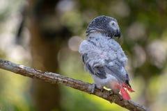 Afrikanischer grauer Papagei des Babys mit rotem Endst?ckfall an zur Niederlassung im Wald lizenzfreies stockbild