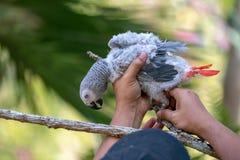 Afrikanischer grauer Papagei des Babys mit rotem Endst?ckfall an zur Niederlassung im Wald lizenzfreie stockfotografie