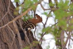 Afrikanischer Hoopoe Stockfoto