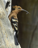 Afrikanischer Hoopoe Stockfotos