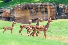 Afrikanischer Impala Aepyceros Melampus Lizenzfreie Stockfotos