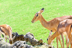 Afrikanischer Impala Aepyceros Melampus Stockfotografie