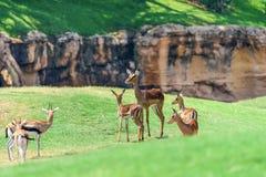 Afrikanischer Impala Aepyceros Melampus Stockfoto