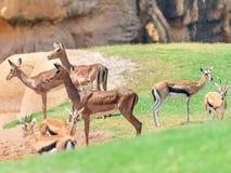 Afrikanischer Impala Aepyceros Melampus Lizenzfreie Stockbilder