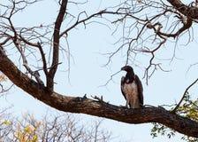 Afrikanischer Kampfadler, Okavango-Delta, Botswana, Afrika Lizenzfreies Stockfoto