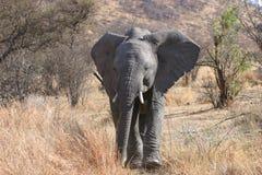 Afrikanischer kommender Bull-Elefant ein Bitabschluß lizenzfreie stockfotos