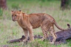 Afrikanischer Löwe Lizenzfreies Stockfoto