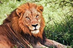 Afrikanischer Löwe Lizenzfreie Stockbilder