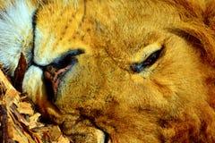 Afrikanischer Löwe Lizenzfreie Stockfotos