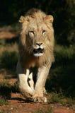 Afrikanischer Löwe Stockfoto