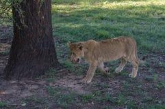 Afrikanischer Löwe Stockfotos