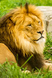 Afrikanischer Löwe Lizenzfreie Stockfotografie