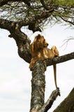 Afrikanischer Löwe, der auf dem Baum stillsteht Stockbild