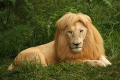 Afrikanischer Löwe, der im Gras sitzt Stockfotos