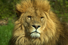 Afrikanischer Löwe, Panthera Löwe, Porträt Stockbild
