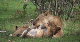 Afrikanischer Löwe, Panthera Löwe, Mutter, die sein CUB, Masai Mara Park leckt, in Kenia, stock footage