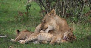 Afrikanischer Löwe, Panthera Löwe, Mutter, die sein CUB, Masai Mara Park leckt, in Kenia, stock video footage