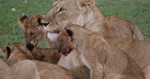 Afrikanischer Löwe, Panthera Löwe, Mutter, die sein CUB, Masai Mara Park leckt, in Kenia, stock video