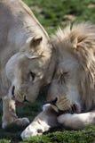 Afrikanischer Löwe (Pantheralöwe krugeri) stockfotografie