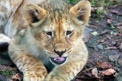 Afrikanischer Löwewelpe Lizenzfreies Stockbild