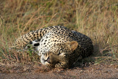 Afrikanischer Leopard Stockbilder