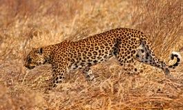 Afrikanischer Leopard Lizenzfreies Stockfoto