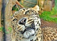 Afrikanischer Leopard Lizenzfreie Stockfotos