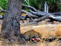 Afrikanischer Leopard auf einer neuen Tötung während nahe bei einem großen Baum in Süd-uangwa Nationalpark, Sambia Stockfotografie