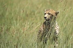Afrikanischer Leopard, der im Gras sitzt Stockfotografie