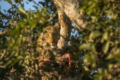 Afrikanischer Leopard in einem Baum stockfotografie