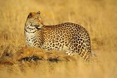 Afrikanischer Leopard, Panthera pardus shortidgei, Nationalpark Hwange, Simbabwe Lizenzfreie Stockfotos