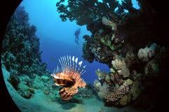Afrikanischer Lionfish stockfoto