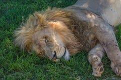 Afrikanischer Löwe Lizenzfreies Stockbild