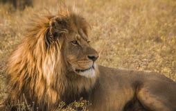 Afrikanischer männlicher Löwe Stockbild