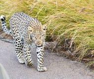 Afrikanischer männlicher Leopard, der auf Straße geht Stockfotos