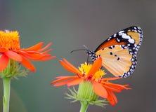 Afrikanischer Monarchfalter auf einer Blume stockfotos