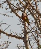 Afrikanischer Orange-aufgeblähter Papagei, der Früchte isst Stockfotos