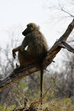 Afrikanischer Pavian Lizenzfreies Stockbild