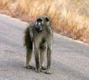 Afrikanischer Pavian auf der Straße Lizenzfreies Stockbild