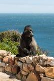 Afrikanischer Pavian, der einen schlechten Tag hat Lizenzfreie Stockfotos