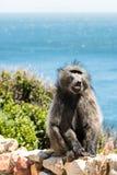 Afrikanischer Pavian, der seine Zähne zeigt Lizenzfreies Stockbild