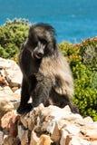 Afrikanischer Pavian, der seine Zunge zeigt Stockfotos