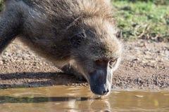 Afrikanischer Pavian-Trinkwasser Stockbilder