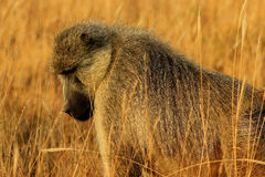 Afrikanischer Pavianaffe lizenzfreies stockbild