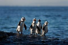 Afrikanischer Pinguin lizenzfreie stockbilder