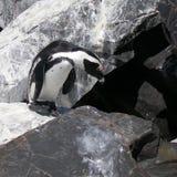 Afrikanischer Pinguin Lizenzfreies Stockbild