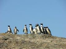 Afrikanischer Pinguin Lizenzfreie Stockfotos